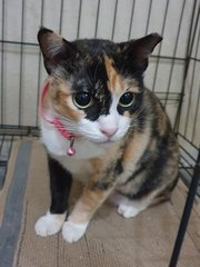 Miss Calico - Domestic Short Hair Cat