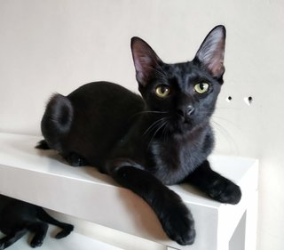 Cosmopolitan (Cosmo) - Domestic Short Hair Cat