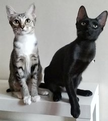 Margarita (Rita) & Martini (Tini) - Domestic Short Hair Cat