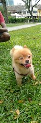 Brownie - Pomeranian Dog