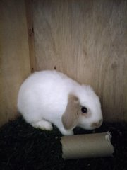 PF93317 - Holland Lop Rabbit