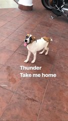 Thunder-Short Tail - Jack Russell Terrier Mix Dog