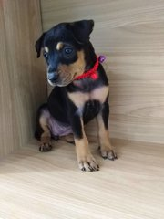 Gigi - Doberman Pinscher Mix Dog