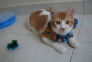 Ferdinand, Like The Prince In Snow White - Domestic Short Hair Cat