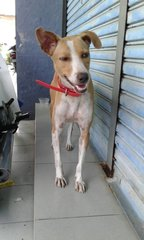 Sofea - Mixed Breed Dog