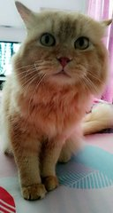 Ginger - Persian Cat