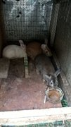 3 Rabbits (2 Adopted)brown Available - Bunny Rabbit Rabbit