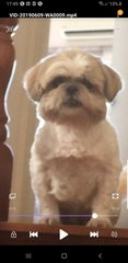 Ginger Lee - Shih Tzu Dog