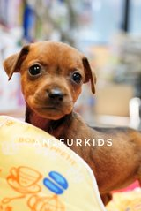 Quality Female Mini Pinscher Puppies - Miniature Pinscher Dog