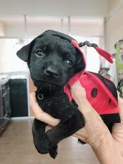 JINGLE BELL ( FEMALE MONGREL PUP) - Mixed Breed Dog