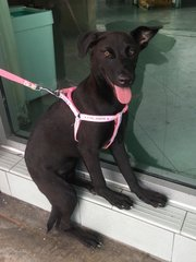 Sweet Pea - Labrador Retriever Mix Dog