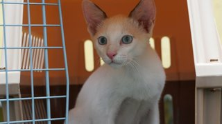 PF94745 - Siamese + Domestic Medium Hair Cat