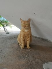 Ginger - Domestic Short Hair Cat