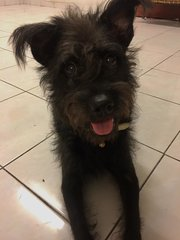 Schnauzer For Adoption  - Schnauzer Dog
