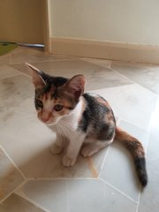 Flower Kitten - Calico Cat