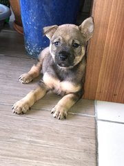 Haru - Mixed Breed Dog