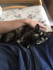 Tortoiseshell - Domestic Short Hair Cat