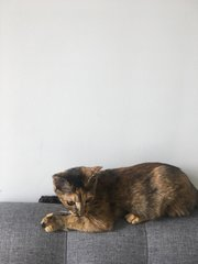 Ella - Domestic Short Hair + Calico Cat