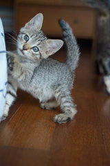 Talawa - Tabby + Domestic Short Hair Cat