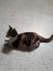 Neutered Fat Baby - Calico + Domestic Short Hair Cat