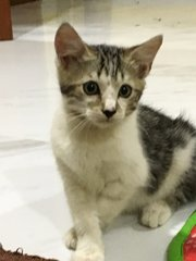 Rere - Domestic Short Hair Cat