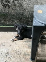 1 Male & 2 Female Mixed Breed Puppy - Mixed Breed Dog