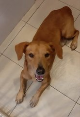 Paul ( 11kg Short Legged) - Dachshund + Golden Retriever Dog