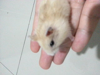 Goldy And Saphire Homebreed - Short Dwarf Hamster Hamster