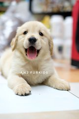 Quality Female Big Bone Golden Retriever - Golden Retriever Dog