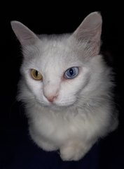 Muza - Turkish Angora Cat