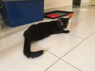 Lava - Domestic Medium Hair + Persian Cat