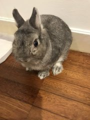 Teddy - Netherland Dwarf Rabbit