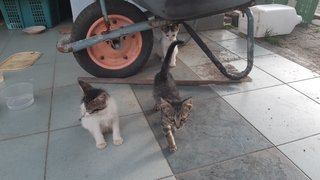 Three Female Kittens  - Domestic Short Hair Cat