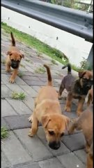 5 Little Puppies - Mixed Breed Dog