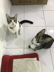 Pebbles & Ajax - Domestic Short Hair Cat