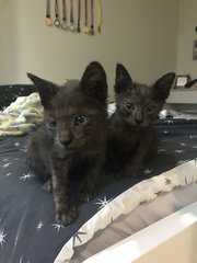 Brownie And Chocolate  - Domestic Short Hair Cat