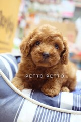 Quality Toy & Tiny Toy Poodle Puppies  - Poodle Dog