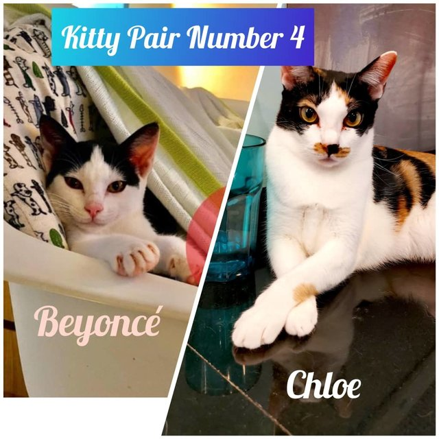Chloe And Beyonce - Urgent Adoption - Domestic Short Hair Cat