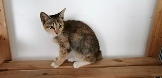 PF98141 - Domestic Short Hair Cat