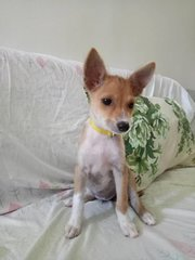 Honey - Rat Terrier Mix Dog