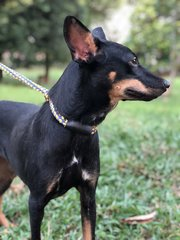 Forrest - Doberman Pinscher Dog