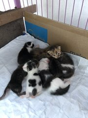 Kabu And Kittens - Domestic Short Hair Cat