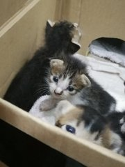 2 brown and white kittens with a brown-grey kitten in the back
