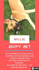 Millie - Mixed Breed Dog