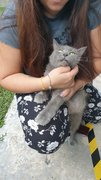 Grey - Russian Blue Cat