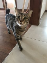 Molly (Now Coley) - Domestic Short Hair Cat