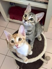 Caramel & Nougat - Domestic Short Hair Cat