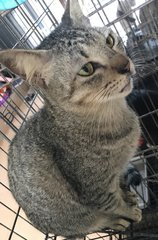 Ceng (Urgent Adoption) - Domestic Short Hair Cat