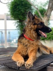 Dutchess - German Shepherd Dog Dog